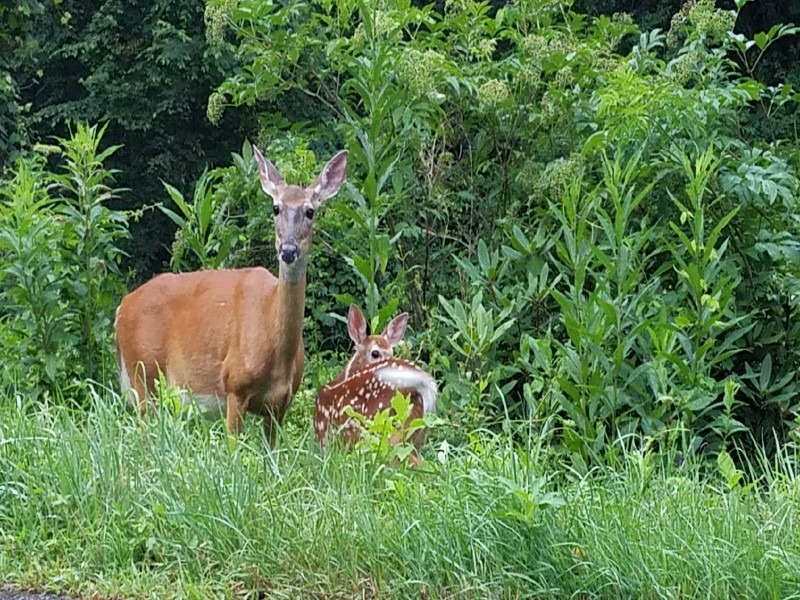 A doe and a fawn inspect the visitors.